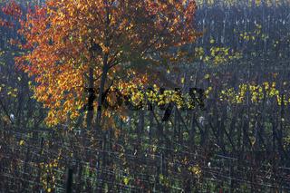 Baum im Weinfeld, Elsass, France