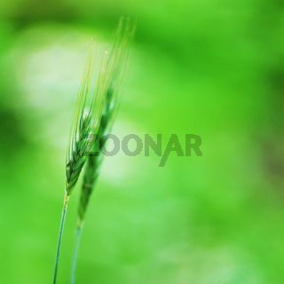 spikelets of oats macro close up