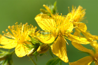 Blüte des Johanniskraut, Heilpflanze, Hypericum pe
