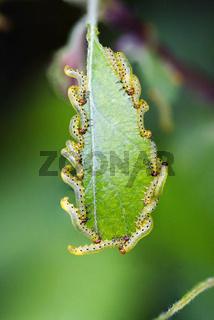 Caterpillars on a leaf