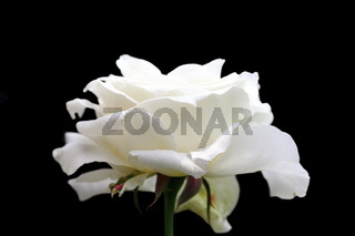 beautiful white rose in bloom isolated over dark background