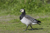 Weiwangengans,Branta leucopsis, Barnacle Goose