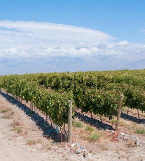 Vineyards of Mendoza, Argentina