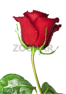 Flower of scarlet rose with water drops on a white background