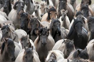 Duelmener Wildpferde, Herde, wild herd of Duelmen Ponies, Germany