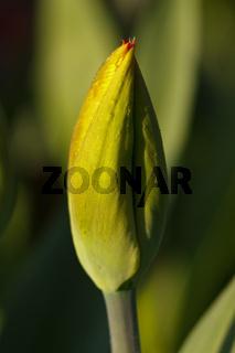 Tulpenknospe - Tulipa