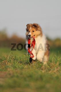 American Shetland Sheepdog