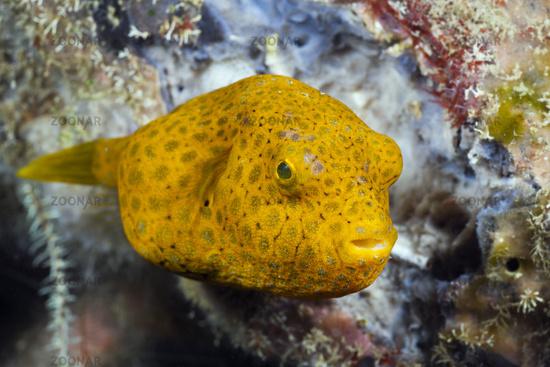 Juveniler Riesen-Kugelfisch