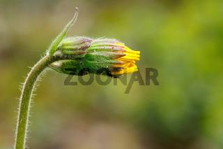 Gelbe Arnikaknospe - Arnica montana - Asteaceaer