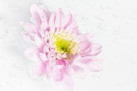 Chrysantheme_HKey_1