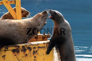 Stellersche Seelöwen Valdez Alaska