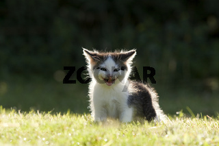 Katze, Kaetzchen lachend im Gegenlicht, Cat, kitten laughing in the back light