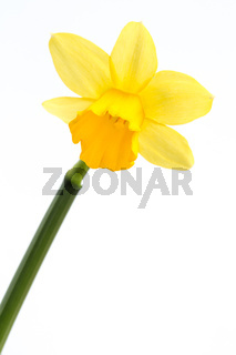 Yellow daffodil in bloom with stem