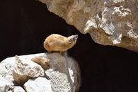 Syrian rock hyrax (Procavia capensis) medium-sized terrestrial mammal