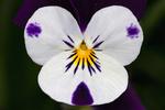 Stiefmütterchen - Veilchen - Viola