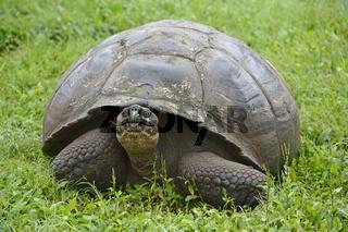 Galapagos Riesenschildkroete (Geochelone elephantopus porteri) i
