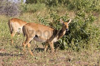 Puku Antilope
