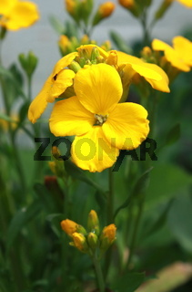 gelber Goldlack, Blume