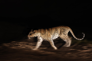 Leopard at night - Leopard im Scheinwerferlicht
