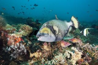 Gruener Riesendrueckerfisch