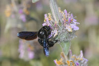 Blaue Holzbiene, Xylocopa violacea, carpenter bee