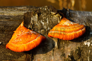 Zinnober-Tramete - Pycnoporus cinnabarinus