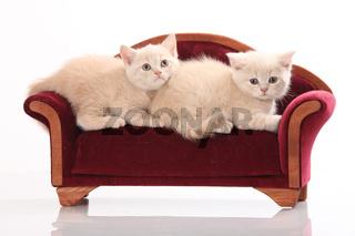 Britisch Kurzhaar Kätzchen auf Sofa