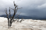 Tote Bäume auf der trocknen Terasse in Mammoth Hot Springs - Yellowstone