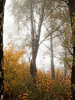 Autumn trees and fog