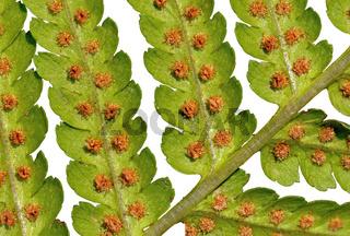 Blatt des Gemeinen Wurmfarn mit Sporangien