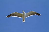 seagull, soaring in the blue sky