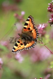 Schmetterling, kleiner Fuchs