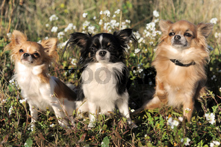 three chihuahua