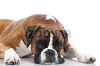 Liegender Boxer