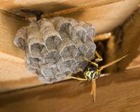 Deutsche Wespe baut ein Nest