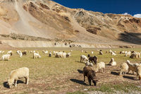 Herd of Pashmina sheep and goats in Himalayas. Himachal Pradesh,