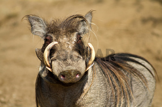 Portrait of a male warthog