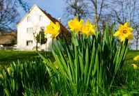 Narcissus pseudonarcissus, narzisse farm haus