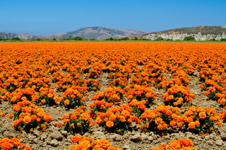 Marigold Farm in California