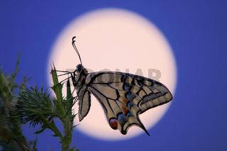 Schwalbenschwanz vor dem Mond