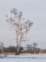 Birch on brink of a meadow in the winter