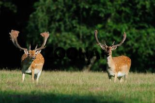 Damwild,Sommer, Fallow-deer