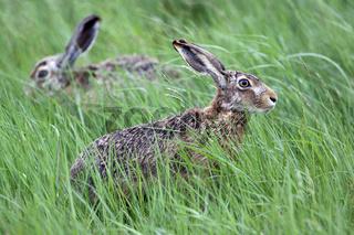 Feldhasen, Lepus europaeus, Hare