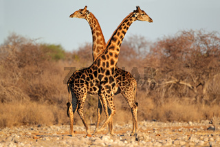 Giraffe bulls
