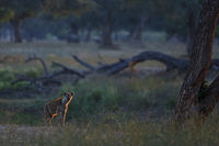 Tüpfelhyäne, Crocuta crocuta, Spotted hyena.