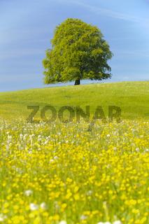 Buche als Einzelbaum im Frühjahr