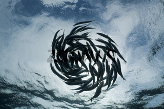 Schwarmverhalten von Sardinen