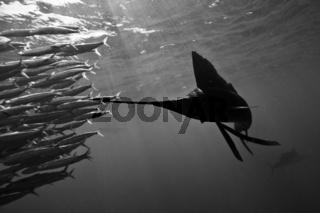Atlantischer Segelfisch