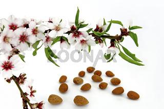 Mandelblueten u. Mandeln - Prunus dulcis