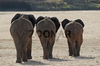 Elefanten (Loxodonta africana); Elephants (Loxodon